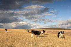 Cattle in the grassland Stock Photography
