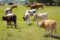Cattle and grassland Stock Image