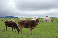 Cattle in the grassland Royalty Free Stock Photos