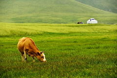Cattle on the grasslands of Inner Mongolia Royalty Free Stock Image