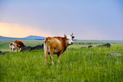 Cattle on the grasslands of Inner Mongolia Stock Images