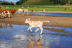 Cattle on the grasslands of Inner Mongolia REGENERATION Royalty Free Stock Photography
