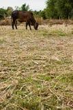Cattle graze. stock photos
