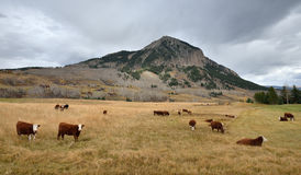 Cattle graze in a field near Mt. Crested Butte, Colorado Stock Photography