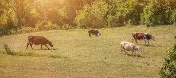 Cattle graze in a green field. Cows and bulls grazing on a green field. Domestic animals Royalty Free Stock Photo