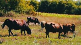 Cattle graze on green meadow in summer stock footage