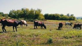 Cattle graze on green meadow in summer stock video