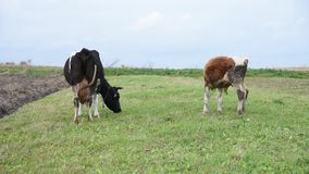 Cattle graze in the middle of the field, cow and young bull, on leash, Ukraine stock video