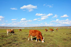 Cattle graze beside pond in prairie Royalty Free Stock Images