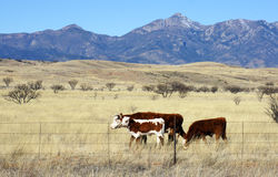 Cattle graze in the prairie Royalty Free Stock Photo