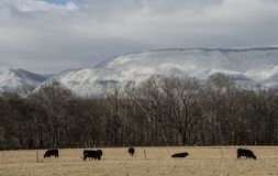 Cattle graze under a snow covered mountain. Cattle are grazing beneath a snowy mountain stock photo