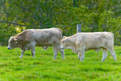 Cattle grazing Royalty Free Stock Photos