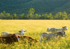 Cattle grazing Royalty Free Stock Images