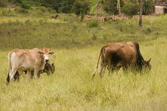 Cattle Grazing Stock Images