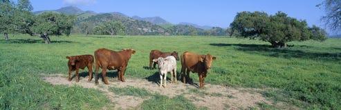 Cattle grazing,. Santa Ynez Valley, California stock photo
