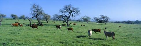 Cattle grazing. Santa Ynez Valley, California royalty free stock photo