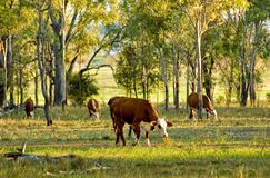 Cattle grazing Royalty Free Stock Image