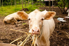 Cattle grazing Stock Photos