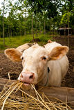 Cattle grazing Royalty Free Stock Photo