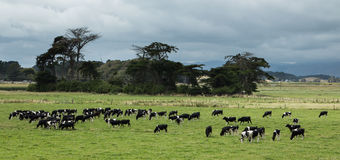Cattle Grazing Royalty Free Stock Photography