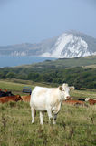 Cattle grazing above Dorset coast Stock Photo