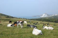 Cattle grazing above Dorset coast Stock Photography