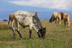 Cattle grazing on the African plains Royalty Free Stock Images