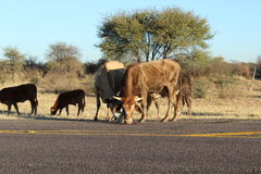 CATTLE GRAZING ALONG THE ROAD Royalty Free Stock Image