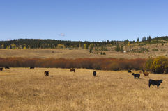 Cattle grazing in autumn meadow Stock Photos