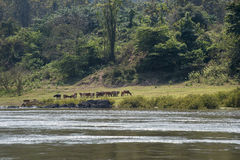 Cattle grazing on the banks of the river. Mekong in Lao Royalty Free Stock Images