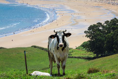 Cattle grazing on a beach Stock Image