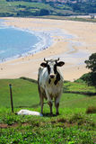 Cattle grazing on a beach Royalty Free Stock Photo