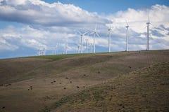 Cattle grazing beneath wind turbines Stock Photo