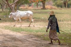 Cattle grazing in the Burmese countryside. A woman leads a cow to a pasture royalty free stock photography