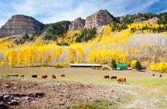 Cattle Grazing In Colorado Stock Photos