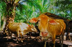 Cattle grazing. cow in a farm stall. A Cattle grazing. cow in a farm stall Stock Images