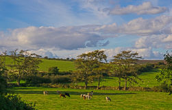 Cattle grazing on Dartmoor,UK Royalty Free Stock Images