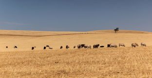 Cattle grazing on dry meadow. South Australia. Royalty Free Stock Photography