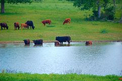 Cattle grazing. Cattle eating & drinking stock photography