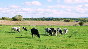 Cattle Grazing on Farmland Royalty Free Stock Images
