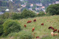 Cattle Grazing on Farmland Stock Image