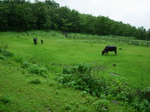 Cattle grazing in field. Scenic view of cattle grazing in green field with wood or forest in background Stock Photography