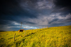 Cattle grazing in field Royalty Free Stock Photography