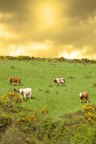Cattle grazing in a field on a hill Royalty Free Stock Photo