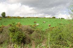 Cattle grazing in an Irish field on a hill Stock Photos