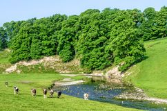 Cattle grazing in field next to River Bela, Cumbria, England Royalty Free Stock Image