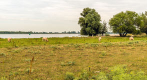 Cattle grazing on the floodplain of a river Royalty Free Stock Image