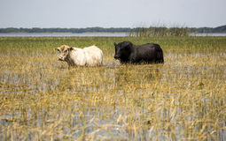 Cattle grazing in the water on grasses in the Flor Stock Photos