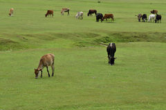 Cattle Grazing Fresh Green Grass in Himalayan Hills Royalty Free Stock Images