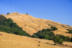 Cattle grazing on the golden hills of Mission Peak Preserve stock image